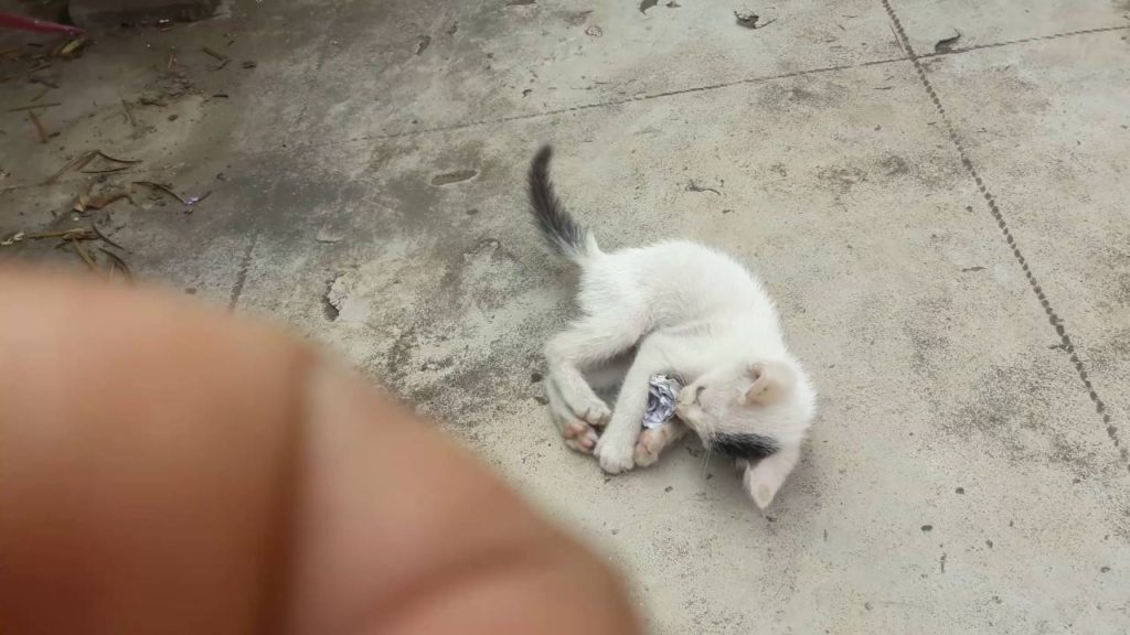 A child cat also wants to play football but how? See the video