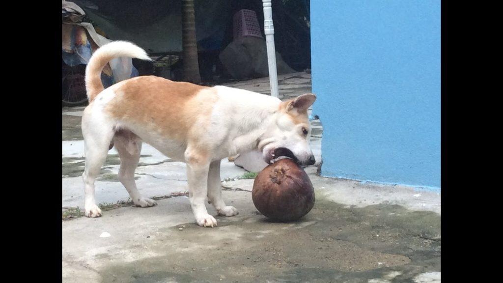 My lovely dog play football as Ronado!!