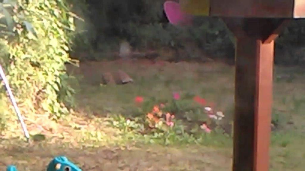 Fox playing football in my garden.