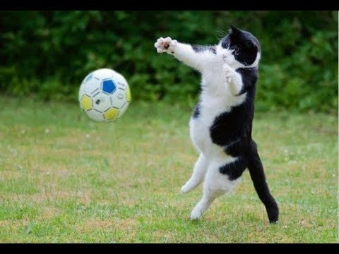 A cute Cat plays football !!