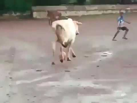 A cow playing football with boys