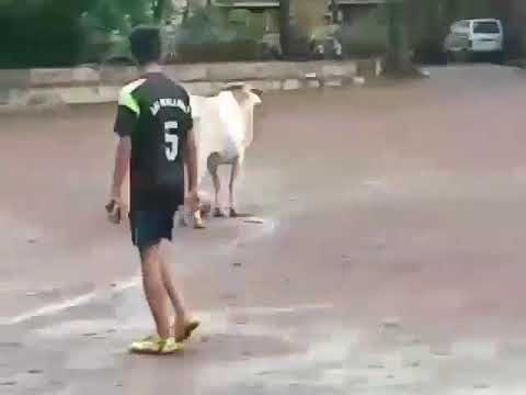 Angry Cow playing football.. Haha.. Very funny