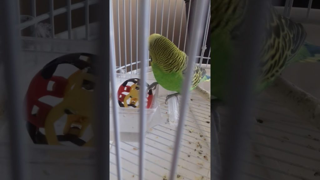 My parrot plays football.