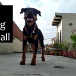 Dog Playing Football | Playing with Rottweiler Dog Part 2 | Covid 19 Lockdown in India | CityShoutz